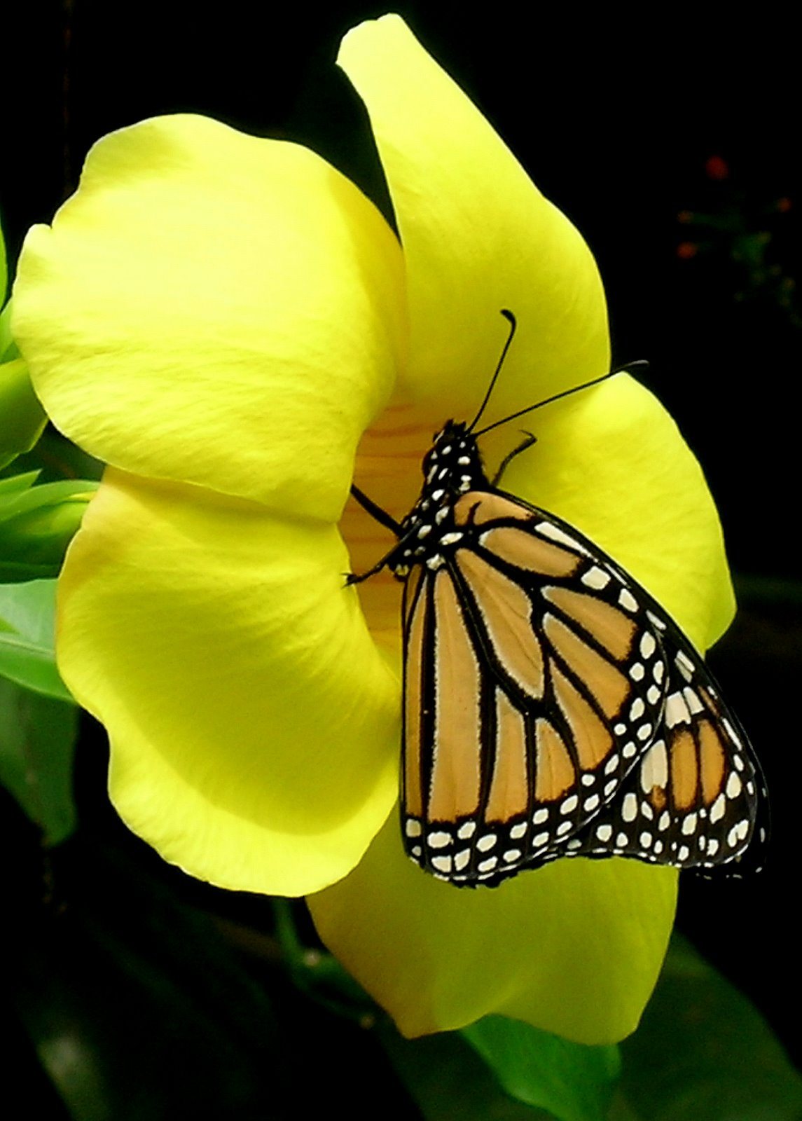 Oh Beautiful Butterfly Sadaflarge